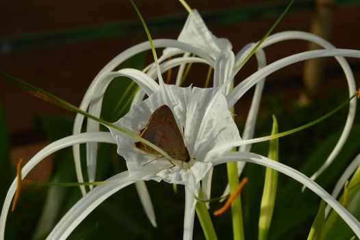 Watch out Miss Moth, that's a spider lily!!! by sapoguapo