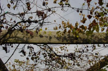 Grape Arbor, Chicago Botanic Garden, October 2001 by SilverrOne