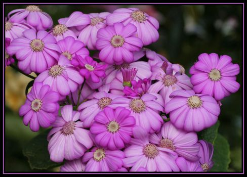 Some Type Of Cineraria by Firey-Sunset