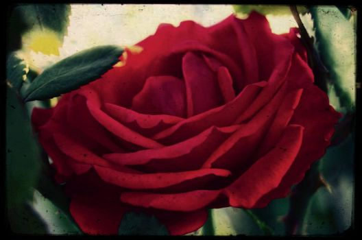 Red_rose by angra1811