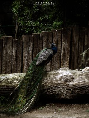 Peafowl by Findichsehrgut
