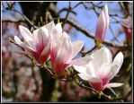 The Magnolias Have Bloomed by jasonksmith