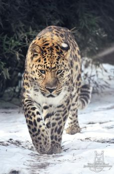 Prowling on snow by Allerlei