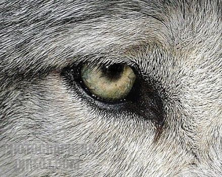 Wolf eye attempt by Kavahle22