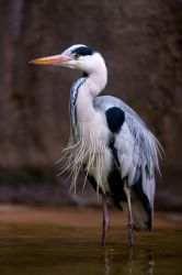 grey heron waiting by oetzy