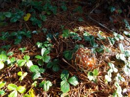 Fly Agaric Button 2 by ohallford