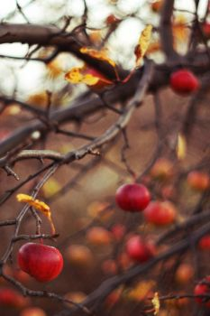 .november's apples by Souriant