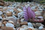 Purple Cactus W/ Pebbles by DeepSlackerJazz