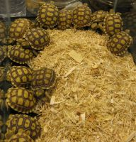 Sulcata Tortoise Hatchlings by wastedsacrifice