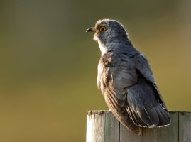 Cuckoo at first light by Jamie-MacArthur