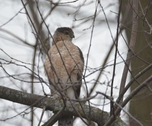 Cooper's Hawk Looking for Prey by Crixans