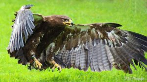 steppe eagle 3 by MT-Photografien