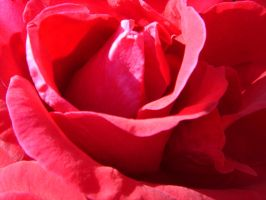 Red rose by vintersong