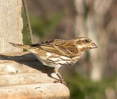 Female Purple Finch by JocelyneR