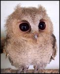 Baby Scops Owl III by makibird