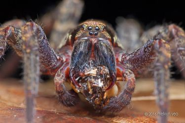 Wandering Spider with prey by melvynyeo