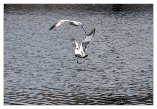 Gulls in motion by azieser
