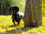 Weiner in the Leaves by Dani-the-Naiad