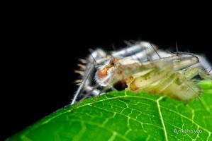 Laglaise's Garden Spider by melvynyeo