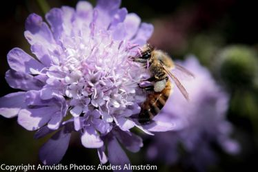 macro flower and bee by AndersAlmstrom