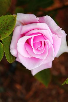 Pink Rose by PeachPlumsPhotos