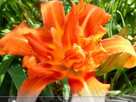 WP Day Lily by sweetlilfly