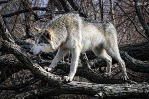 wolf  balancing act by Yair-Leibovich
