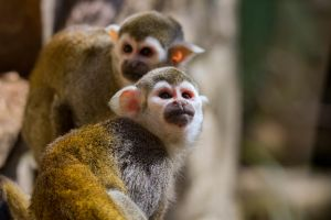 Squirrel Monkeys by Daniel-Wales-Images
