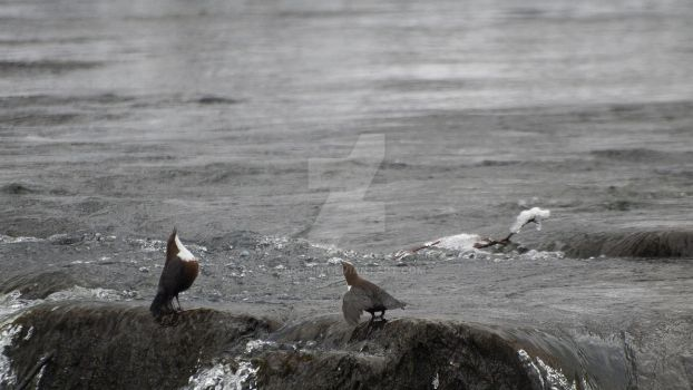 White-throated dipper by 75ronin