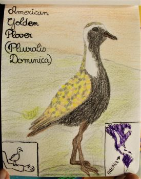 American Golden Plover - Animal of March 2018 by MoonyMina