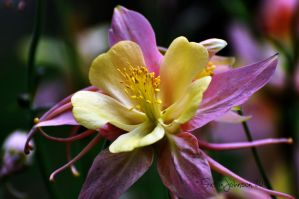 Pink and Yellow Columbine by AlaskaGrl