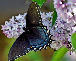 Eastern tiger swallowtail .2 by Gooiool