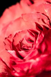 My Rose by canapaio