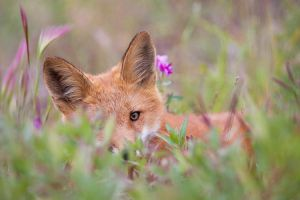 Red fox in flowers by softflower