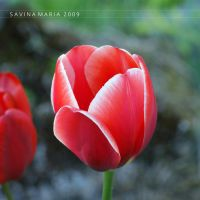 lovely flowers_113 by Marsulu