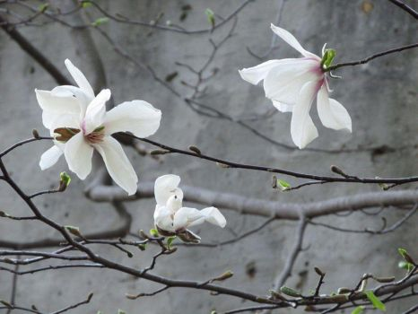 Magnolia Blossoms by NataliGagarina