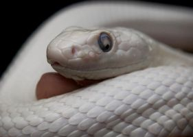 Leucistic Rat Snake by alimuse