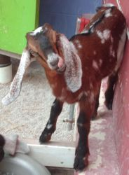 Brown Goat Stock by Lovely-DreamCatcher