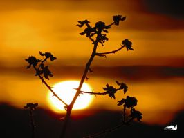Sun Setting On Blackberries by wolfwings1