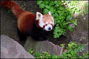 Red panda walking around by AF--Photography