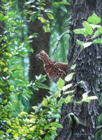 In the Deep Woods - Grouse by CitizenOlek