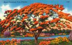 Vintage Florida - Royal Poinciana Tree by Yesterdays-Paper