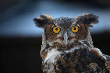 Great Horned Owl by russokm10