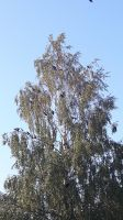 Western jackdaw tree by Daramoon