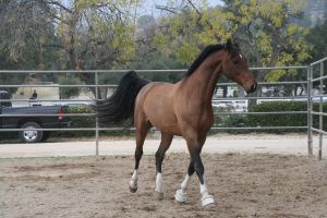 crazy warmblood 12 by Aestivall-Stock