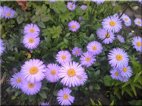 Daisies by pooh-1968