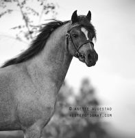 Paddock Picasso by Hestefotograf