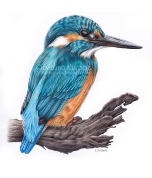 Kingfisher drawing by Kot-Filemon