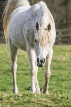 Grey Arabian Mare Stock 5 by Venari-Stock