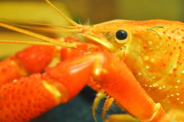 Orange Crayfish Close Up by sharpion
